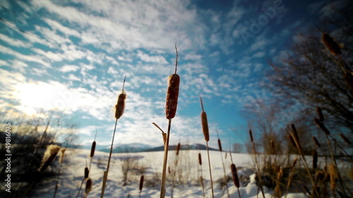 reeds growing in the mountains in winter