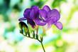Purple freesia flower, on green background