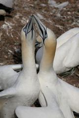 Northern gannet's welcome ceremony (Morus bassanus), close-up