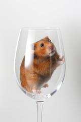 hamster en copa de cristal