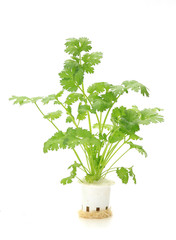 Hydroponic  coriander  vegetable on white background
