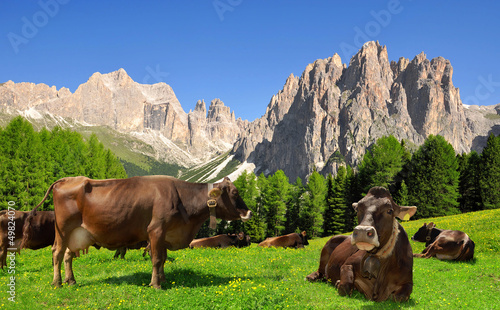 Cow in the meadow.In the background Rosengarten, Italy Alps