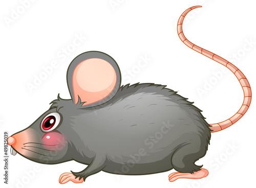 A gray rat