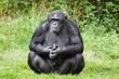 Chimpanzee ape
