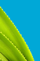 A Spiky Tropical Plant With Copy Space And Blue Background
