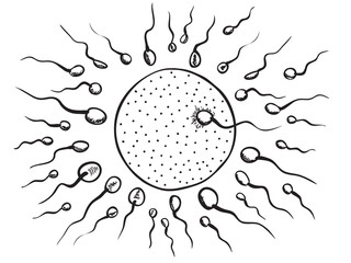 Illustration of fertilization