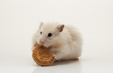 Funny hamster eats on white isolated background