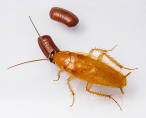 Smooth cockroach - Symploce pallens