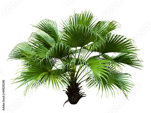 Keuken foto achterwand Palm boom Chinese Fan Palm