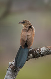 White-browed coucal sitting on a branch. poster
