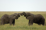 Two African Elephant playfighting.