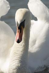 Mute Swan, Cgnus olor