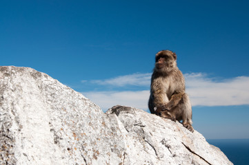 Marmoset in Gibraltar.
