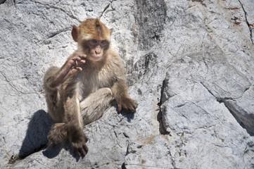 Marmoset in Gibraltar