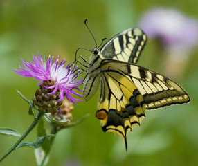 Machaon butterfly on the Centaurea flower