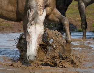 Horse in puddle