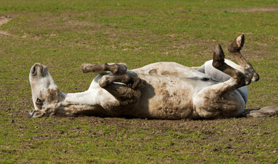 Horse lying on his back