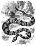 Snake (Boa Gigas) poster