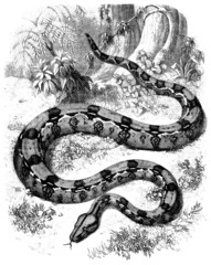 Snake (Boa Gigas)