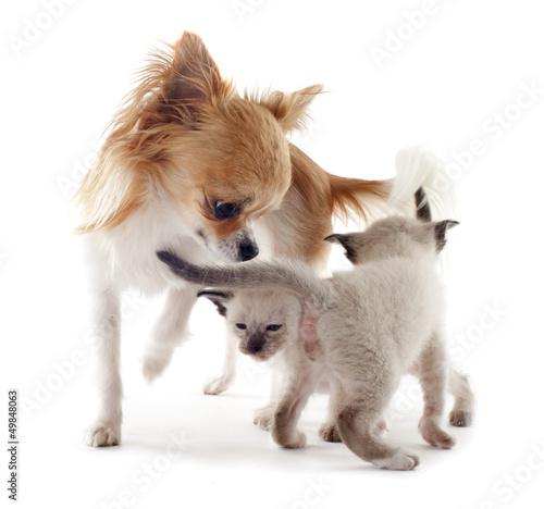 Siamese kitten and chihuahua