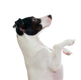 Standing jack russel terrier side view. Isolated on white