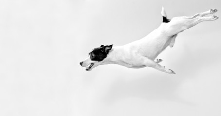 Full-length jack russell terrier in jump. Black and white