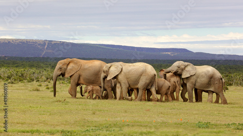 Breeding Elephant Herd