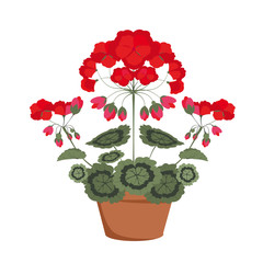 pelargonium with red flowers