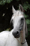 Graceful Arabian White Horse