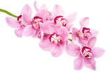 Fototapety pink orchid flowers isolated