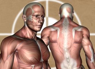 Die Muskelatur