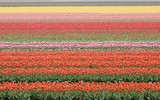 colorful tulip field, netherlands