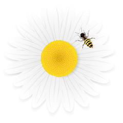Chamomile flower and bee isolated on white background.