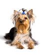 yorkshire terrier sitting on the white background