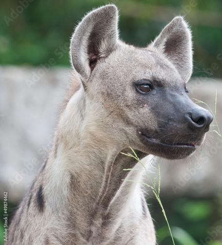 Plexiglas Hyena Spotted hyena