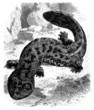 Salamander - Lisard
