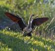 Male American Anhinga