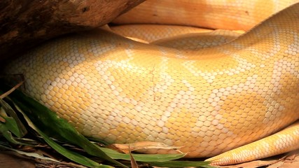 Close up of golden thai python,