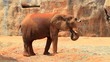 Africa elephant in zoo, high definition clip, Thailand,