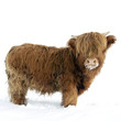 Young Highland Cattle Standing...
