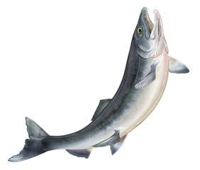 ジャンプする鮭