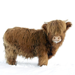 Young Highland Cattle standing in the snow