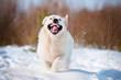 funny golden retriever puppy running in the snow