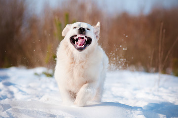 funny golden retriever puppy running in the snow