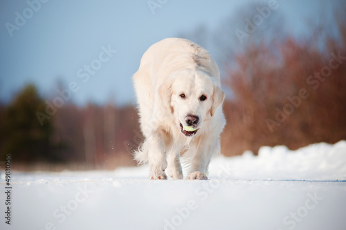 golden retriever dog playing with tennis ball