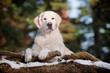 golden retriever dog portrait in the forest