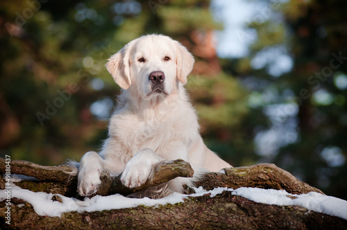 golden retriever dog portrait in the forest