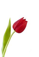 Rote Tulpe vor weissem Hintergrund