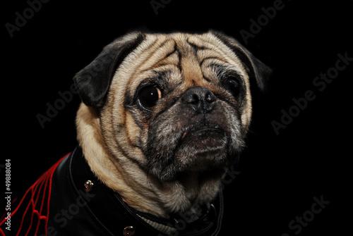 Pug Over Black