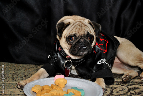 Pug Modeling in Front of a Plate of Dog Cookies